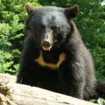 【北海道島牧村クマ騒動】 猟師に日給3万円は高いのか検証してみた 猟友会 熊 ヒグマ ツキノワグマ